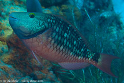 BD-101208-Cozumel-2849-Sparisoma-viride-(Bonnaterre.-1788)-[Stoplight-parrotfish].jpg